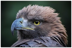 Hawk Eye.. (A.J.Pendleton-Lightbox 2008) Tags: bird nature birds closeup canon hawk upclose birdofprey 400l canon40d naturethroughthelens blinkagain