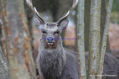 DSC00469 (Mark Coombes Photography) Tags: male woodland deer antlers dorset sika