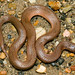 AHS 2006 Spring Field Trip / Western Earth Snake