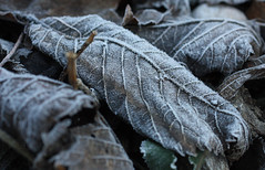 12. Jnner 2012: Rauhreif (Gertraud-Magdalena) Tags: winter salzburg leaves blatt bltter kapuzinerberg rauhreif jnner