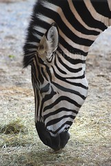 Grants Zebra - Equus quagga boehmi (HGHjim) Tags: africa zoo education zebra mammalia equus knoxvillezoo grantszebra equidae plainszebra chordata perissodactyla equusquaggaboehmi hippotigris