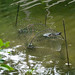 Common Snapping Turtles in a Hoop Trap
