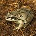 Male Strecker's Chorus Frog