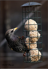 MALE STARLING (Shaun's Wildlife Images....) Tags: birds shaund