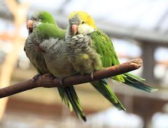 bird high hires resolution 5d hi bud res markii 鳥 quakerparrot monachus monkparakeet myiopsitta オキナインコ 高画質 高精細 翁鸚哥
