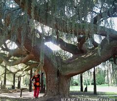 Le Cdre Bleu Pleureur de la Valle aux Loups Arboretum Chatenay-Malabry / Le Plessis-Robinson - Arbre Vnrable Rare Remarquable. (tamycoladelyves) Tags: de photo  photos arboretum du des bleu arbre aux rare 92 liban venerable plessis valle chateaubriand pleureur cdre gnral loups hautsdeseine hauts cedreduliban remarquable valleauxloups arboretumvalleauxloups arbreremarquable cedrebleupleureur arbrevnrable arboretumdelavalleauxloups arboretumvalle cdruslibani vertconseil seinecoule arboretumchatenay cedrebleuduliban cedrebleuarmentieres cdrebleudelatlas cedrebleupleureurdelatlas cedrepleureurduliban cdredelatlasbleu arbrecdrebleu cedrependula cedruslibaniglauca arboretumvalleauxloupschtenaymalabry valleauxloupschatenaymalabry valleeauxloupschateaubriand arboretumplessisrobinson parcchateaubriand parcchatenaymalabry sceauxchtenaymalabryrobinsonle robinsongrfrancilienespace vertevalle chtenaymalabryarboretum loupsvalle