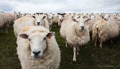 Sheep gathering (Kees Waterlander) Tags: uk orkney sheep hoy schapen verenigdkoninkrijk