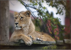 LIONESS (Shaun's Wildlife Images....) Tags: cats big shaund