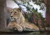LIONESS (Shaun's Photographic World.) Tags: cats big shaund
