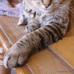"""Look at my beautiful leg"", he said (livingglassart home of oddballs and oddities) Tags: stripes critter tabbycat catnose catleg"