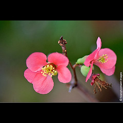 Xun Hng (HoangHuyManh images) Tags: flowers niceshot musictomyeyes redgroup blackgroup bluegroup superhearts greengroup flickrsilveraward platinumheartaward doubleniceshot mygearandme hoanghuymanhimages level1photographyforrecreation level3photographyforrecreation level2photographyforrecreation theelitephotographerlevel1 qualifiedmemberonly qualifiedmemberonlylevel2 chariotsofartistslevel2 theelitephotographerlevel2 chariotsofartistslevel3 fineplaitnumlevel2 theelitephotographerlevel5 yelowgroup bbng theelitephotographerlevel3 chariotsofartistslevel4 theelitephotographerlevel4 chariotsofartistslevel5