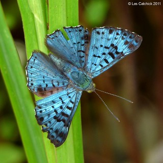 Butterfly (Lasaia agesilaus)
