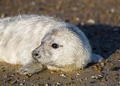 Grey Seal pup (Marks238) Tags: norfolk nikon70300mmvr greysealnikon70300mmvrnorfolk