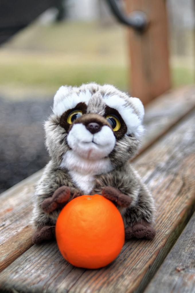 Raccoon playing with a tangerine