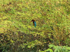 Kingfisher (Shreeram Ghaisas) Tags: birds kutch dasada rann littlerann gujarath