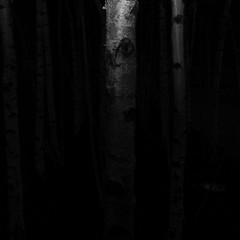 TERRA INCOGNITA (Grant Simon Rogers) Tags: themanwhoflashedattrees grantsimonrogers leica leicadigilux2 bankside walkingandtalkingwithandresrodriguez monmouthcoffee eye bark barking eyeball silverbirch birching trollhunter idontwanttobeexploredpleaseleavemealone thefirst10 000 thefirst10000 individuation animamundi antiwarphotography antiwarphotographer flneur flnerie