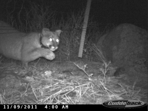 Photo - Mountain Lion