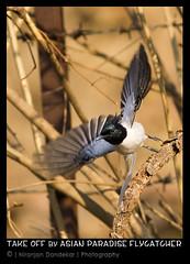 Asian paradise flycatcher (NiranjanDandekar) Tags: bird canon asian prime paradise open action wide off take feb 2012 actionshot flycatcher 400mm sinhgad wingspread canonlseries 550d asianparadiseflycatcher t2i canon400f56l feb2012