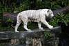 IMG_2633 (Marc Aurel) Tags: zoo singapore tiger tigre singapur whitetiger zoologischergarten singaporezoo weddingtrip hochzeitsreise bengaltiger pantheratigris zoologicalgarden königstiger pantheratigristigris royalbengaltiger pantheratigrisbengalensis weisertiger 5dmarkii eos5dmarkii indischertiger tigrebiancha