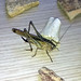 """Big Cricket on Table! • <a style=""""font-size:0.8em;"""" href=""""http://www.flickr.com/photos/72440139@N06/6833779261/"""" target=""""_blank"""">View on Flickr</a>"""