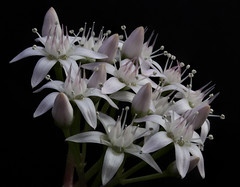 IMG_4847stack_v_large (aCactus2008) Tags: flower macro canon crassula ovata focusstack 450d ef100mmf28lisusmmacro