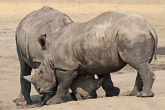 witte neushoorn Beekse Bergen IMG_0301 (j.a.kok) Tags: white rhino bergen rhinoceros witte neushoorn beekse