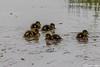 IMG_3948 (dorsman1970) Tags: fauna vogels dieren eend vogel