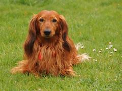 Raudi der Wachhund (Oliver Deisenroth) Tags: portrait dog dachshund hund