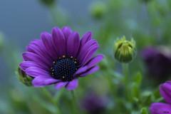Margerite (Katz-Ffm) Tags: flower nature closeup germany deutschland hessen blossom frankfurt fineart lila 40mm nikkor blume blte nahaufnahme katz nikond5300