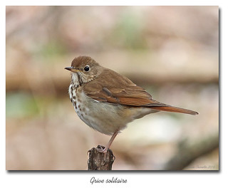 Grive solitaire / Hermit Thrush IMG_3814