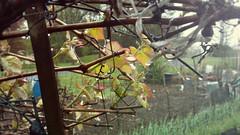 Garden Rain (Scouttyboy) Tags: rain garden grapevine