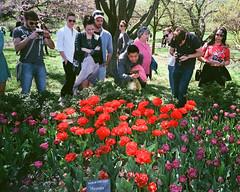Miranda (cgc76) Tags: street new york nyc flowers color film brooklyn analog 35mm garden botanical photography spring photographer tulips superia flash tourists 8x10 iso 400 fujifilm miranda genuine xtra 2016