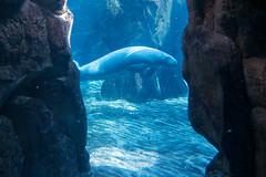 Lamantino (fil.nove) Tags: camera blue italy water canon aquarium 1 italia blu liguria under genoa genova porto di acqua antico metropolitana acquario compact sensor citt italiano comune acquatico mammifero g7x sensore compatta trichechus lamantino