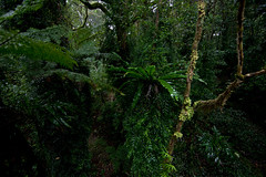 Tree ferns, lichens and epiphytes, antarctic beech forest, Springbrook NP. (ross_coupland) Tags: world park heritage clouds forest gold coast rainforest national valley queensland vegetation brook beech antarctic springbrook gondwana hinterland nothofagus purling numinbah