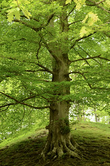 Beautiful Oak in full bloom (ParkyPie) Tags: light sunset nature beautiful walking day escape getaway walk rydal grasmere lakedistrict peaceful cumbria stunning windermere dayout