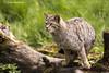 Wild Cat (lindabosmuis) Tags: animals cat canon germany deutschland zoo kat wildcat dieren 100400mm duitsland 6d wildpark dierenpark wildekat anholterschweiz wildedieren