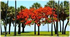 North Shore Park - St Petersburg, Florida (lagergrenjan) Tags: north shore park st petersburg florida tree bloom
