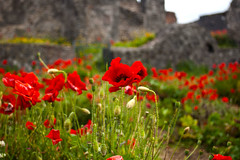 Red Flowers (Natsumi) Tags: flowers red plants green nature beautiful photo fantastic picture pompei