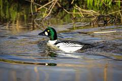 Telkk / Goldeneye (Tuomo Lindfors) Tags: bird water espoo suomi finland clarity dxo vesi goldeneye lintu telkk topazlabs suomenoja filmpack suomenojanlintualtaat