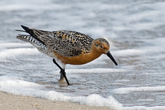 Red Knot (Brian E Kushner) Tags: new red bird beach nature water animals reeds ed nikon wildlife birding nj knot jersey species endangered nikkor migration rare vr afs d500 protected shorebird delawarebay redknot calidriscanutus 200500mm nikond500 bkushner reedsbeachnj f56e brianekushner nikonafsnikkor200500mmf56eedvr