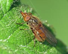 Rhingia campestris (erdragonfly) Tags: rhingiacampestris