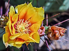 Prickly Pear Cactus Flower. (Jo-Cooler Than Usual Summer...Yay!!!!!) Tags: cactus orange plants green yellow purple desert sharp pricklypear pads nopal santarita picky niftyfifty inthefrontyard theweeklycolourchallenge colourfulblossomsflowers