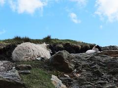 Slieve League, Co Donegal (Beechgarave) Tags: cliff coast sheep lamb ewe sliabhliag