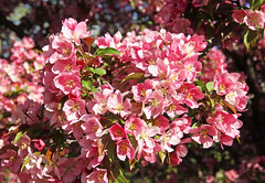 Tickled Pink (ND Wind Twins) Tags: pictures pink 116 crabapple splendor tickledpink 2016red 116pictures75