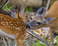Myakka River State Park White-tailed fawn 05-22-2016 (Jerry's Wild Life) Tags: florida deer fawn whitetailed whitetaileddeer myakkariverstatepark myakkariver sarasotacounty whitetailedfawn whitetaileddeerfawn
