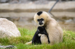 Northern white-cheeked gibbon (mellting) Tags: money animal mammal zoo nikon flickr sweden ape sverige primate eskilstuna platser gibbon whitecheekedgibbon parkenzoo 500px hylobatesleucogenys djurparker bloggad northernwhitecheekedgibbon nikond7000 vitkindadgibbon mellting instagram matsellting nordligvitkindadgibbon sigma1506005063sport