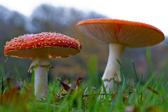 Down in the Mud (*(Ian)* - Ian Howard) Tags: christmas xmas red food guy mushroom danger fun dangerous tea hampshire fungi toad toadstool stool amanitamuscaria newforest poisonous donottouch funkymushroom