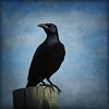 Redwinged Starling. (jimbodownie) Tags: africa wild bird starling redwinged pilansberg anawesomeshot