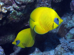 A pair of Masked Butterflyfish at Gota A by Derek Keats, on Flickr