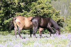 Broken Bow and Kindra (sandyelmore1) Tags: montana wildhorses mustangs pryormountain